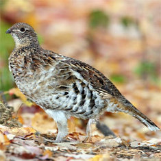 Ruffed Grouse Drumming Survey, Citizen Science | Scientific American | Citizen Science in Action | Scoop.it