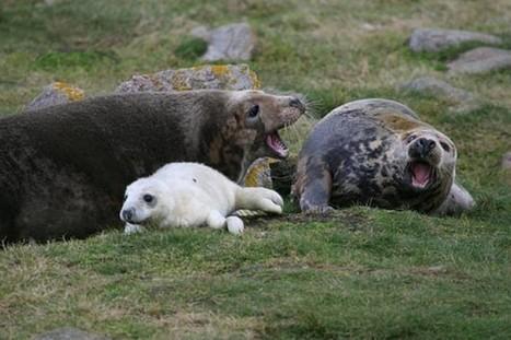 Conductas maternas muy diferentes en las focas grises | Agua | Scoop.it