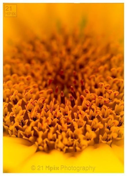 Insects and Flowers - #Sunflower macro close-up | Sunflowers | Scoop.it