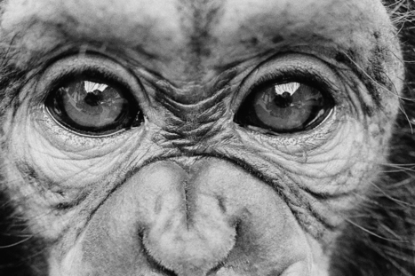 How a coughing ape is changing our ideas about animals, humans and language | animals and prosocial capacities | Scoop.it