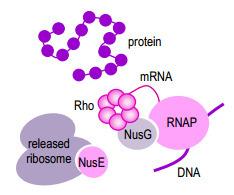BIO317 Transcription in bacteria | BIO317 Bacterial gene regulation | Scoop.it