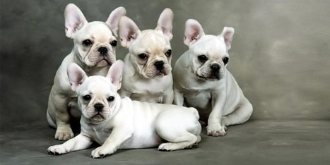 """Bulldog Francese: un cane chiamato il """"piccolo Ercole""""!   best5.it   Vari   Scoop.it"""