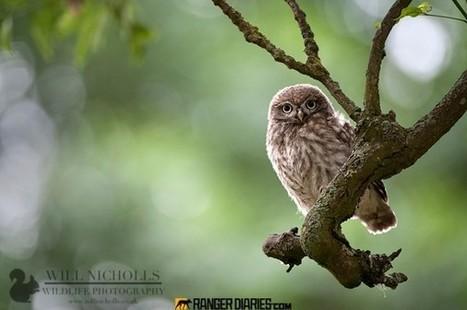 9.-immature-little-owl-will-nicholls-596x396.jpg (596x396 pixels) | Interesting Photos | Scoop.it