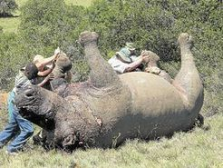 Rhino under Threat debuted in Brazil | What's Happening to Africa's Rhino? | Scoop.it
