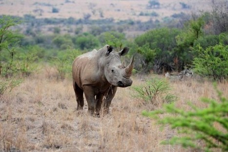 Despite Memorandum Rhino and Elephants Remain at Risk | Help save our Rhino | Scoop.it