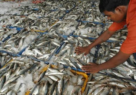 INDIA: Mackerel, sardine and anchovy catch dips | T.O | Scoop.it