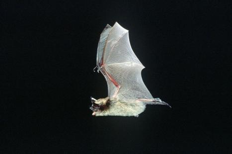 Local scientists ponder bat migration mystery - The Spokesman Review (registration) | Bat Biology and Ecology | Scoop.it