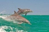 Australia: Where to Swim With Wild Dolphins Off the Coast of Perth - Accidental Travel Writer | Australian Tourism Export Council | Scoop.it