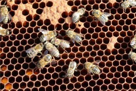 New findings about the deformed wing virus, a major factor in honey bee colony mortality | La recherche en apiculture | Scoop.it