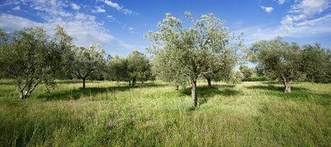 Planter un olivier dans mon jardin | Life, styled | Scoop.it
