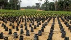 Agrobusiness : l'huile de palme, chance ou menace pour l'Afrique ? | Questions de développement ... | Scoop.it