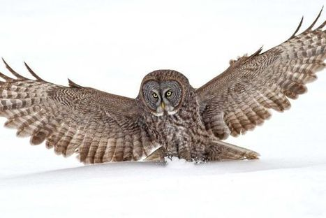 Studying Owls to Improve Aircraft | Biomimétisme Biomimicry | Scoop.it