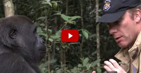What Happened When A Gorilla Saw The Man Who Raised Him, 5 Years Later. | ANIMAL LATITUDE NEWS | Scoop.it