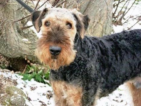 Home for the Holidays | Airedale Terriers | Scoop.it