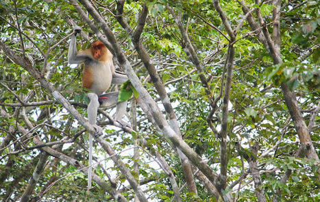 Photo 186   BEKANTAN -WILD INDONESIA   Bekantan - Wild Indonesia   Scoop.it