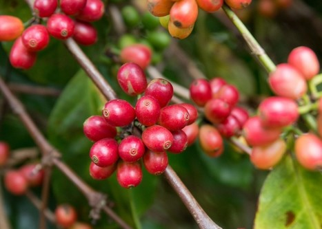 How To Quit Your Job And Become A Coffee Producer | Coffee News | Scoop.it