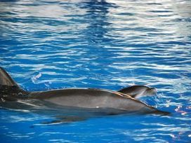 Newborn dolphin in critical condition due to malnutrition - CNA ENGLISH NEWS | Dolphins | Scoop.it