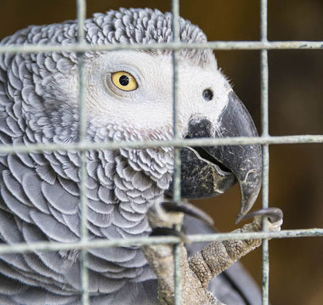 The beautiful African grey parrot is facing extinction | All Things Zygodactyl | Scoop.it