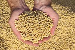 Supreme Court battle: Farmer v. Monsanto   Pesticide Action Network   Freedom and Politics   Scoop.it