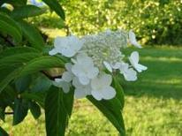 Between the Rows: Hydrangea - The Recorder | Container-a-Gogo | Scoop.it