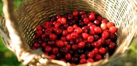 Pesticides : mangerons-nous des cerises cet été ? | Les filières bio | Scoop.it