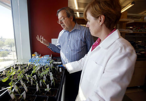 UA plant scientists adjust to public worries over GMOs | Arizona Daily Star | CALS in the News | Scoop.it