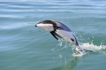 Le dauphin Maui, espèce la plus rare du monde, menacé d'extinction   Chronique d'un pays où il ne se passe rien... ou presque !   Scoop.it