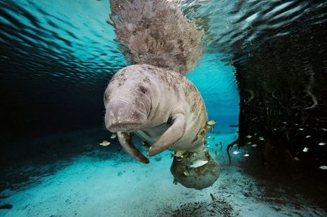 #Protecting the #manatee and other #wildlife ~ Tbo.com | Rescue our Ocean's & it's species from Man's Pollution! | Scoop.it