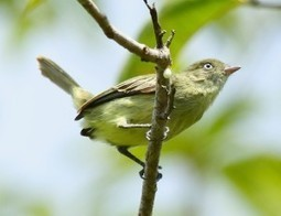 Discoveries in the Amazon: 15 new bird species | EarthSky.org | Freefire Nature | Scoop.it
