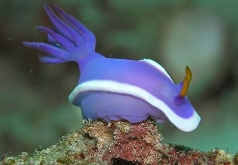 Sunday's Nudibranch: Hypselodoris bullockii | Strange Animals | Strange animals | Scoop.it