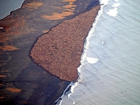 Thousands of Walruses Stranded Ashore in Alaska Once Again Due to Rapidly Melting Sea Ice | Nature Animals humankind | Scoop.it
