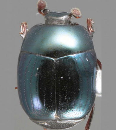Découverte de 85 nouvelles espèces de coléoptères, véritables joyaux d'esthétisme   Ecologie et environnement   Scoop.it