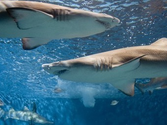 10 Amazing but Endangered Shark Species: How Many Do You Know? | Bookyourdive | Scoop.it
