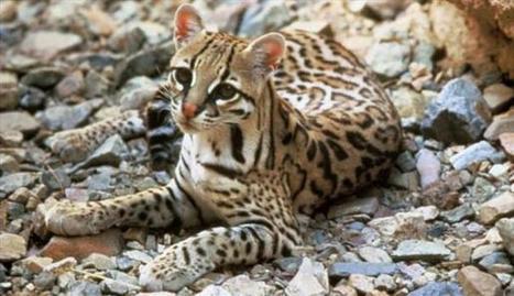Los 10 animales en peligro de extinción en El Salvador | Animales en peligro de extinción en El Salvador | Scoop.it