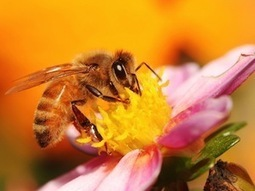 Neonicotinoids let virus thrive in bees | Chemistry World | Chemistry | Scoop.it