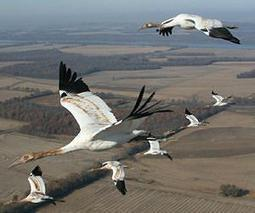 Rare whooping cranes in US face enemies large and small | Sustain Our Earth | Scoop.it