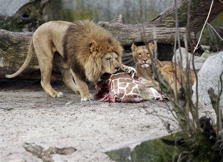 Thousands of zoo animals killed in Europe yearly - Phys.org | zoos should not exist | Scoop.it