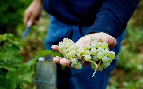 Ça chauffe dans les vignobles | Le vin quotidien | Scoop.it