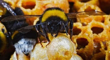 Disease, drugs and a social life: insights from humble bee genomes - On Biology | Container Gardening | Scoop.it