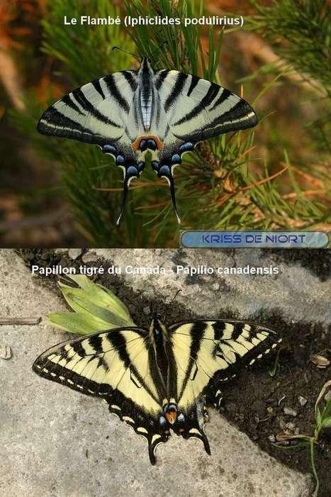 Papillon tigré du Canada - Papilio canadensis - Chenille et Papillon | Fauna Free Pics - Public Domain - Photos gratuites d'animaux | Scoop.it