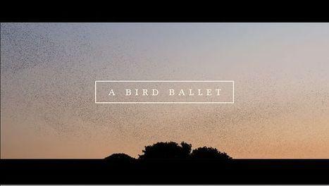 Ballet d'oiseaux   Bématiste   Scoop.it