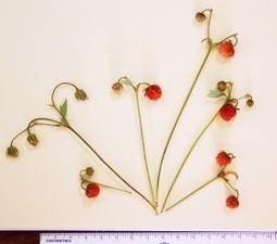 US: new wild strawberry found in Oregon - Fresh Fruit Portal | Plant Gene Seeker -PGS | Scoop.it