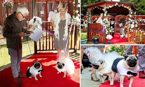 Two PUGS tie the knot in lavish £2000 dog wedding - Daily Mail | It's a dog's life | Scoop.it