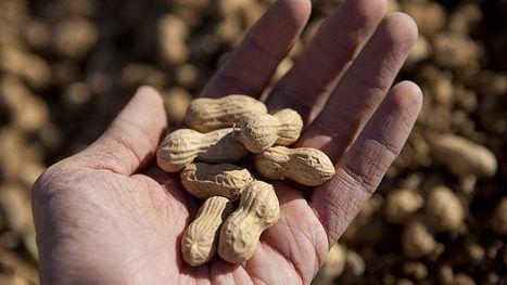 Allergie à la cacahuète : vers une désensibilisation efficace | Bien-être Santé Qualité de vie | Scoop.it