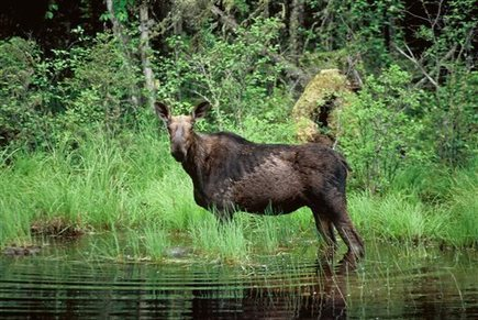 Minn. moose population estimated at 4,350 | #WildlifeWatch | Scoop.it