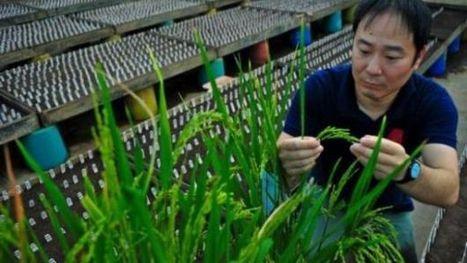 Un gène du riz pourrait faire exploser les rendements de plus de 35% | the world agriculture | Scoop.it