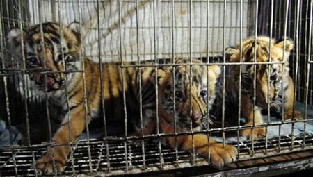 Elite Bangladesh forces rescue three tiger cubs | MNN - Mother Nature Network | Wildlife Trafficking: Who Does it? Allows it? | Scoop.it