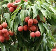 Madagascar : Une nouvelle variété de letchis pour conquérir les marchés d'exportation   Le commerce international   Scoop.it