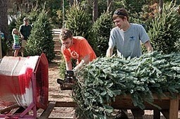 Christmas tree sales measure economy | Lumina News | North Carolina Agriculture | Scoop.it