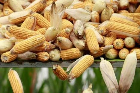 SouthAfrica: Weak rand pushes SA corn and wheat to records | MAIZE | Scoop.it